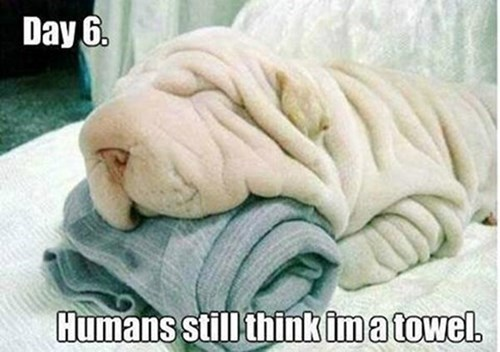 dogs,camo,disguise,funny,wrinkles,towels