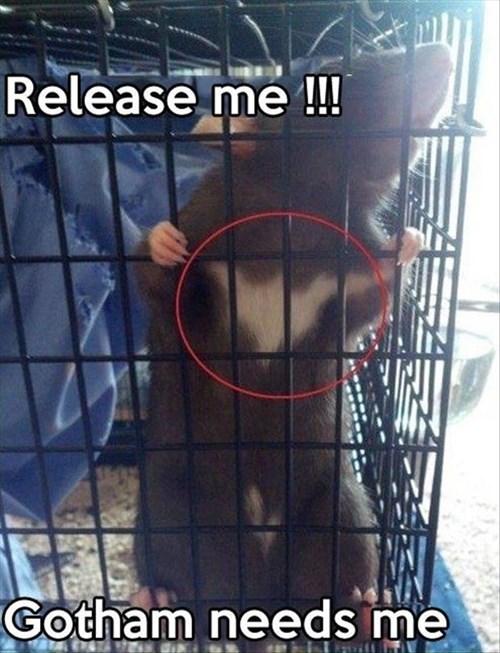 rats,DC,gotham,batman,funny,animals