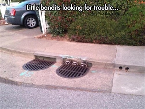 bandits,drain,funny,jail,raccoons