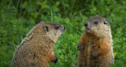 Help the Groundhogs Predict the Winner of the Super Bowl!