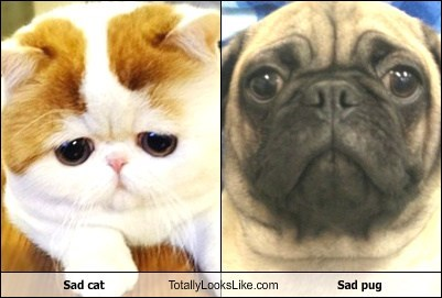 Sad cat Totally Looks Like Sad pug