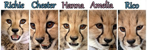 "The Metro Richmond Zoo Cheetah Cubs with Their Names (all based on ""Richmond"" or the names of adjoining counties)"