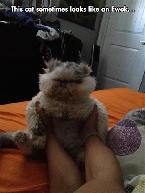 ewoks,star wars,Fluffy,cute,Cats,funny