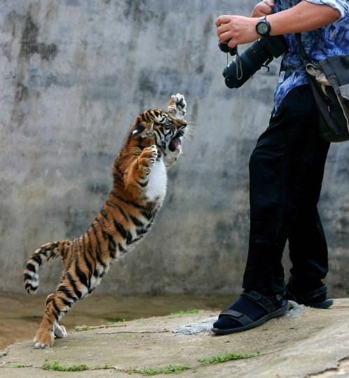 so cute,tigers,cubs
