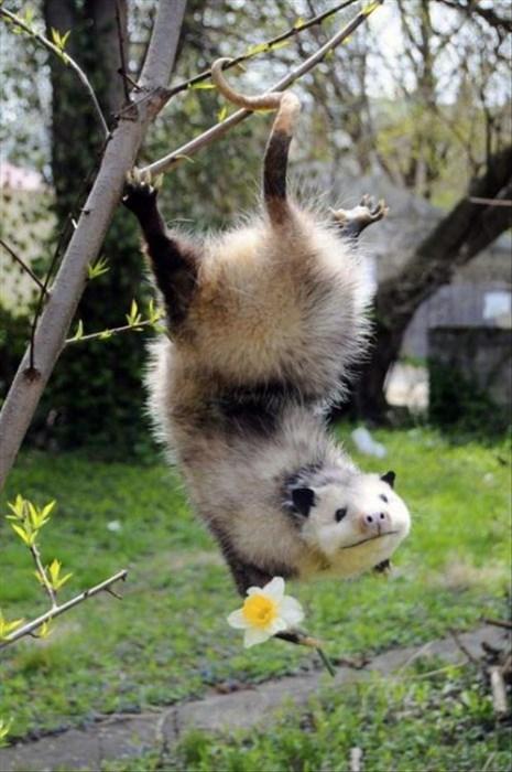possums,flowers,love,Valentines day