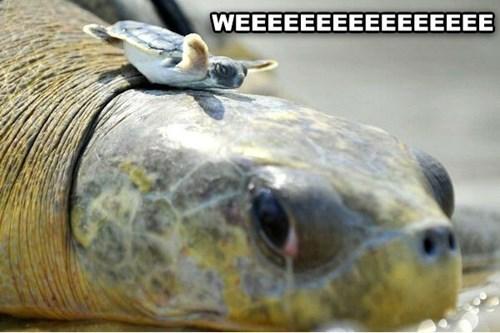 Babies,turtles,mama,cute