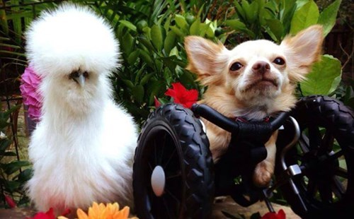 dogs,Fluffy,friends,cute,love,chickens