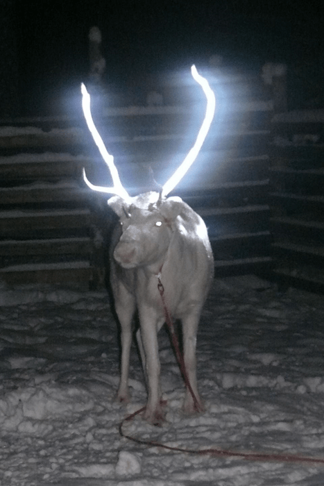 Finns Are Coating Their Reindeer's Antlers With Reflective Material for Night Time Safety, Because Finland is Awesome