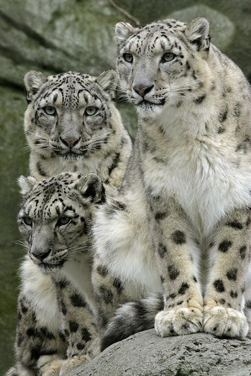 snow leopards,cute,family,beautiful