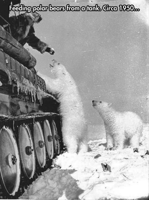 cold,polar bears,tank,funny