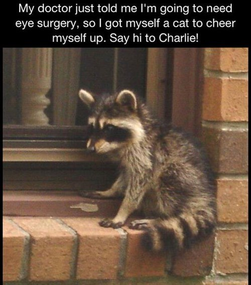 Cats,cute,FAIL,raccoons,poor vision