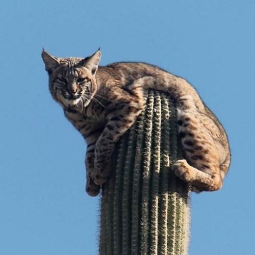 Cats,bobcat,cactus,tough