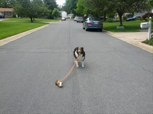 dogs,pets,cute,guinea pig,funny