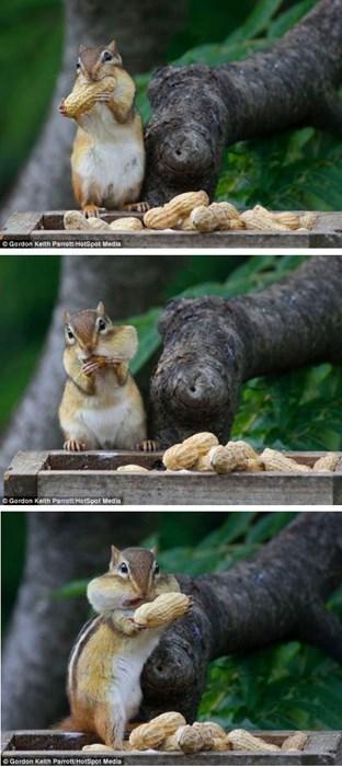 peanuts,chipmunk,noms