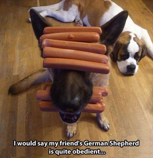 hotdog,dogs,funny,obey