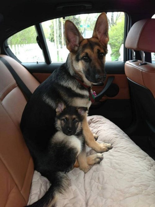 Little Puppy With Big Puppy