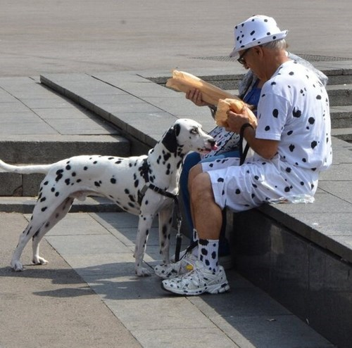 dogs,dalmatian,poorly dressed