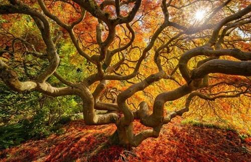 Japanese maple...