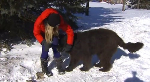 One Very Scared Cap Driver Mistakes a Bear for a Different Kind of Fuzzy Beast