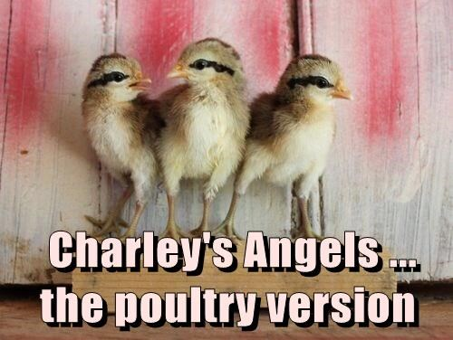 Charley's Angels ... the poultry version