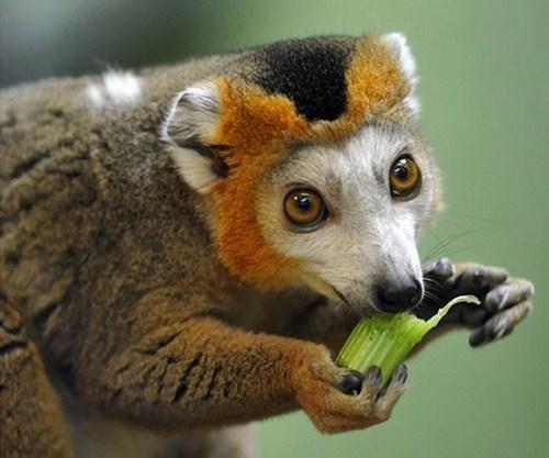 lemurs,cute,noms