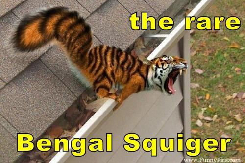 the rare  Bengal Squiger