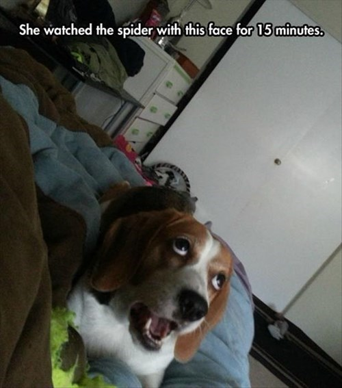 dogs,funny,spiders,stare