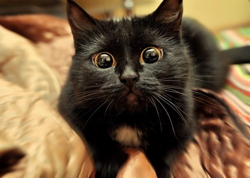 Black Cat Puts On Its Best Aww Cartoon Eyes To Get Its Way
