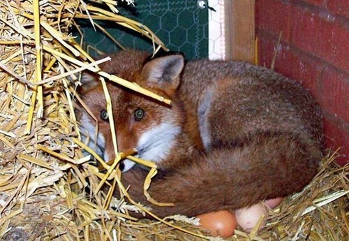 Vegetarian Fox is Just Babysitting