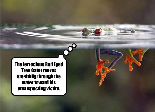 The ferrocious Red Eyed Tree Gator moves stealthily through the water toward his unsuspecting victim.