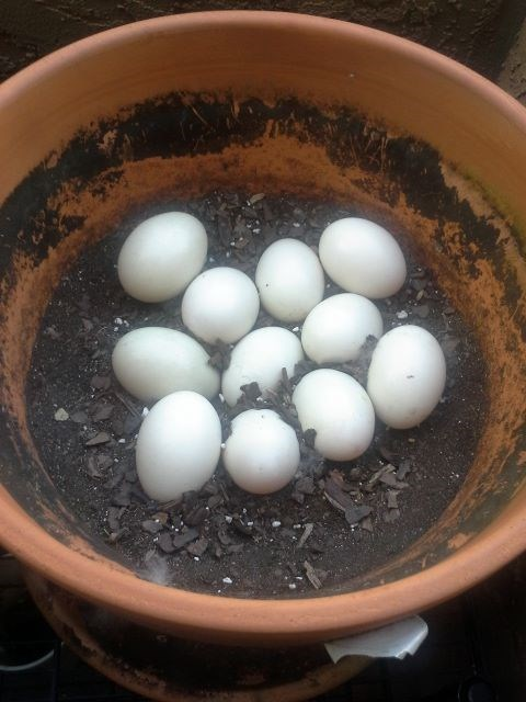 Put an Egg in a Pot and Watch it Grow!