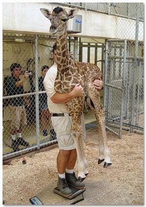 How to Weigh a Baby Giraffe