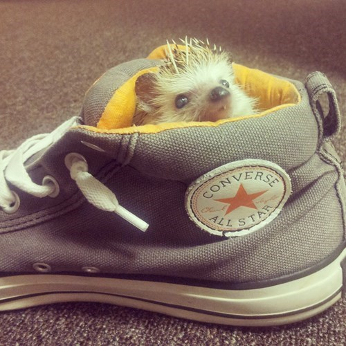 cute,hedgehog,shoes,prank
