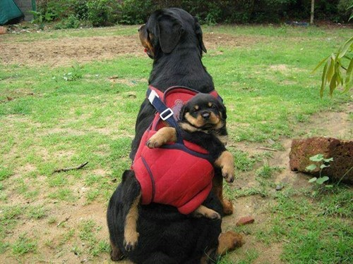 Baby Wearing: Dog Edition