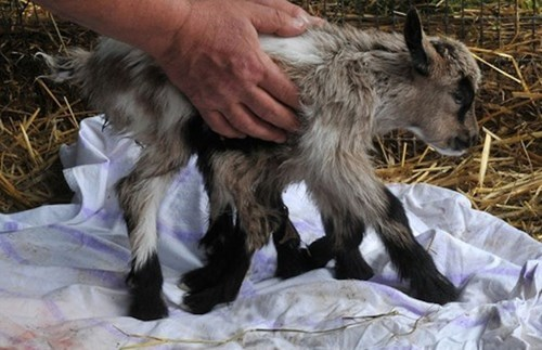 Octogoat Born on a Farm in Croatia