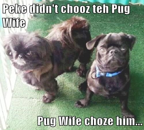 Peke didn't chooz teh Pug Wife  Pug Wife choze him...