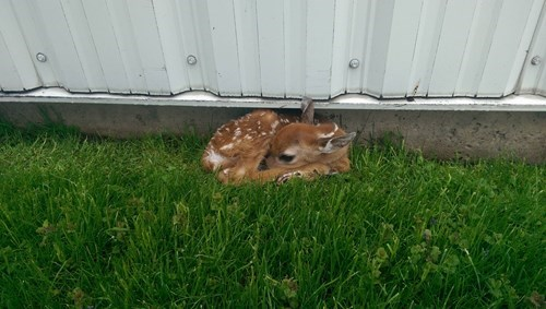 You Have a Fawn on Your Lawn