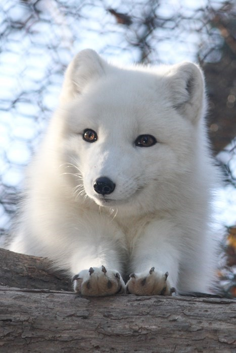 Ais a Fluffy Arctic Fox!