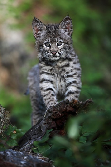 A Wild Lynx in all its Squee Glory!