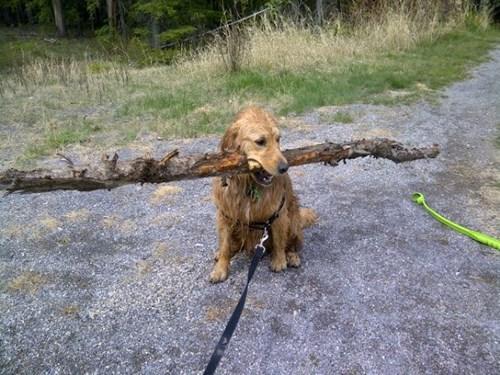 dogs,funny,golden retriever,sticks