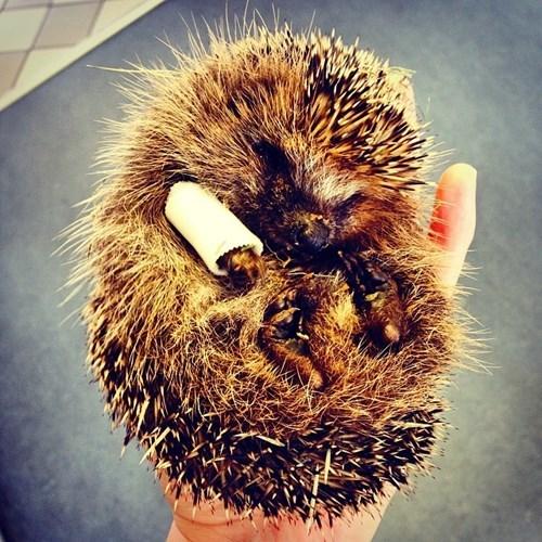 Babies,porcupine,injury,cute