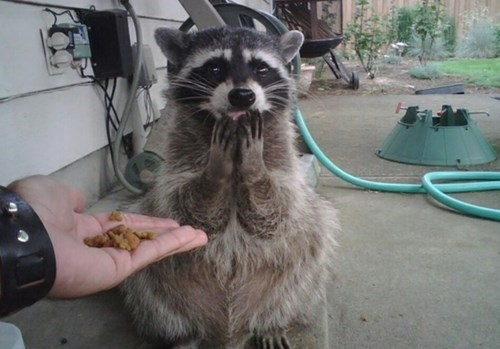 cute,surprise,raccoons,noms