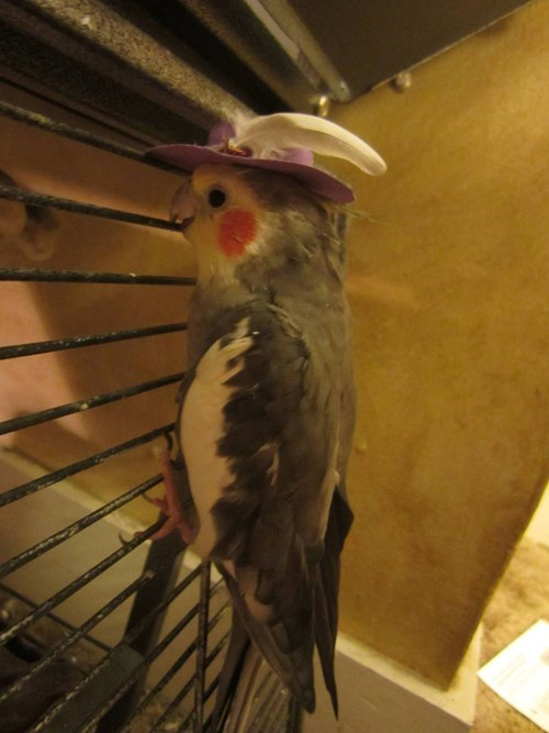 birds,hat,feathers,poorly dressed