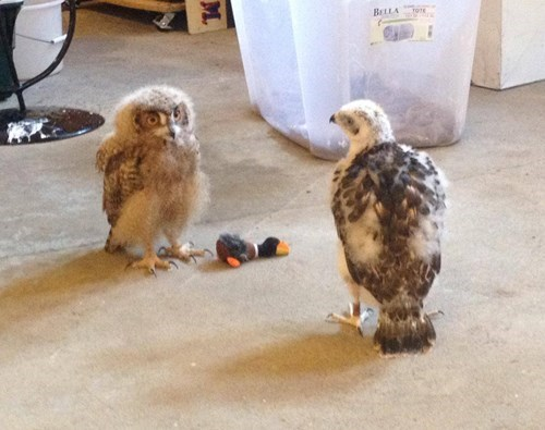 Little Owl and Hawk Babies Have a Play Date