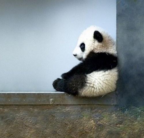 Pondering Baby Panda