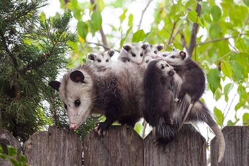 Babies,possum,mama