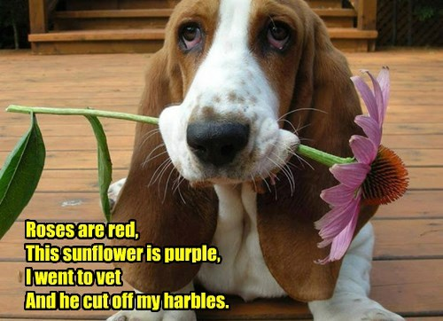 Roses are red, This sunflower is purple, I went to vet And he cut off my harbles.