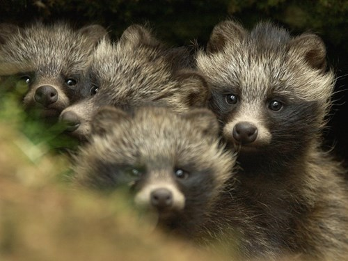 Curious Tanuki are Looking at You