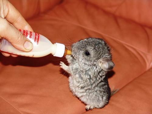 This Adorable Chinchilla Gives Me Chills of Cuteness!