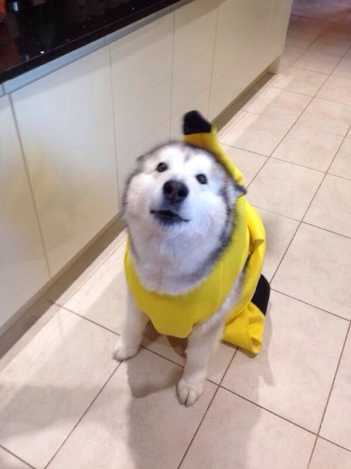 costume,banana suit,dogs,poorly dressed,cute,g rated